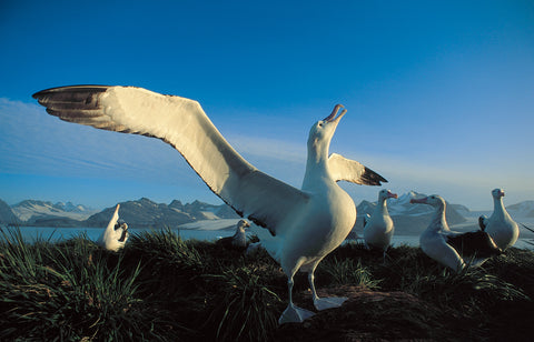 Albatros - The Genetic Rescue Foundation