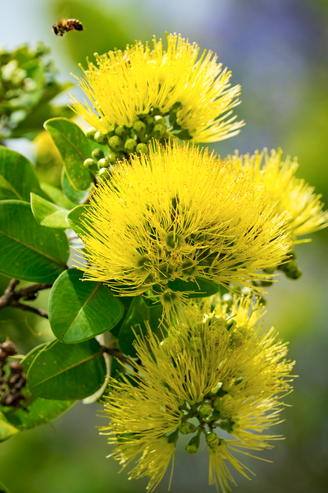 Ohia Bumble Beauty Yellow