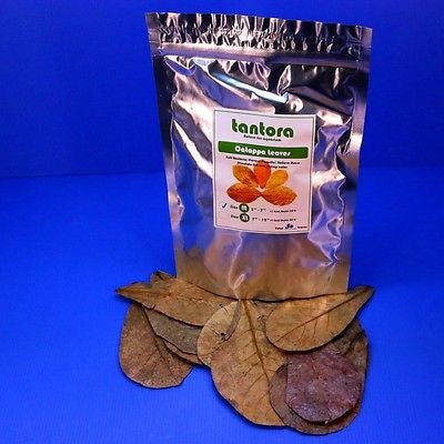 "50pcs 4""~7"" Tantora Catappa Leaves Grd A Indian Almond Leaf KETAPANG shrimp fish"