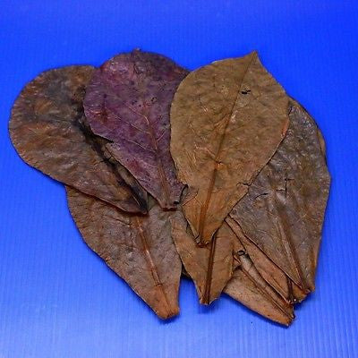 "10pcs 4""~7"" Tantora Catappa Leaves Grd A Indian Almond Leaf KETAPANG aquarium"