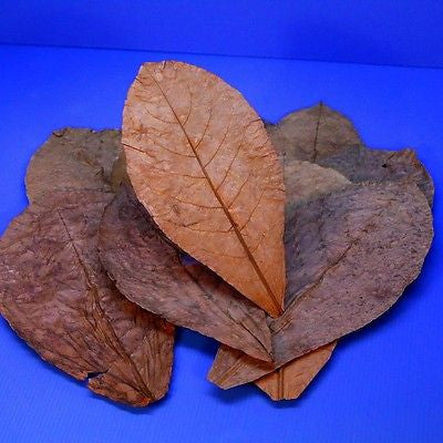 "10pcs 7""~12""Tantora Catappa Leaves Grd A Indian Almond Leaf KETAPANG aquarium"