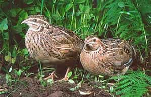 Circle C Farm Japanese Coturnix Quail are here in Bonita Springs, FL