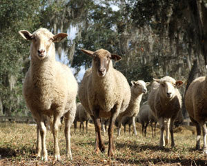 Circle C Farm raises Critically Endangered Florida Cracker Sheep
