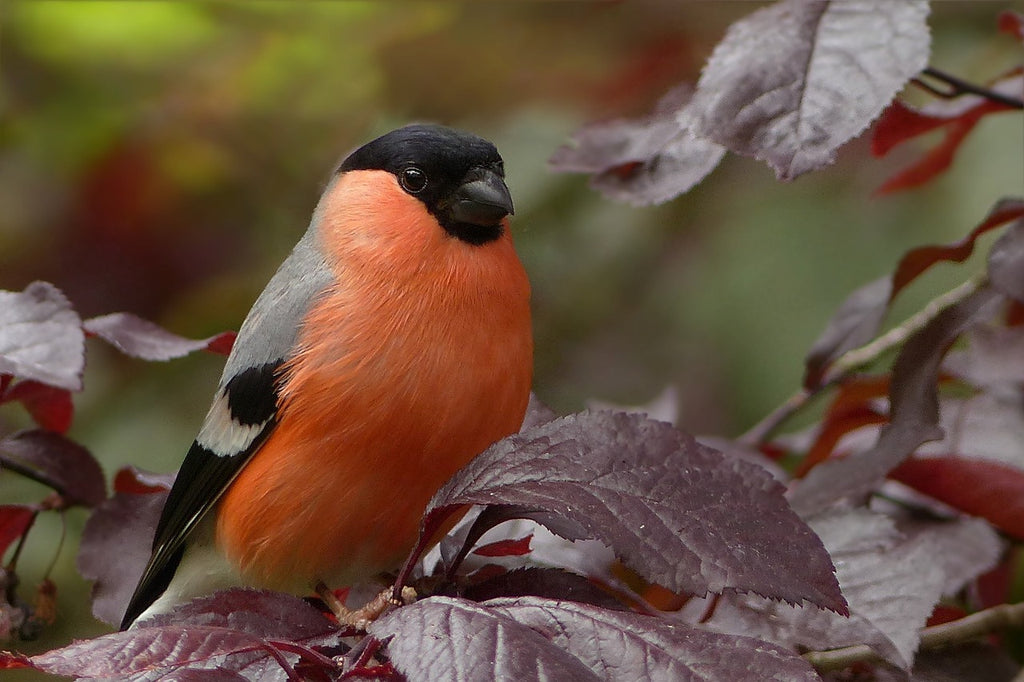 Bullfinch wild bird food