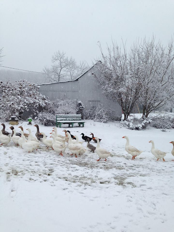 Free range geese in our pastures