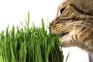 Catgrass (Sweet Oats for Cats) 900 Seeds - Herb From The Dirty Gardener