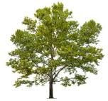 The Dirty Gardener Platanus Racemosa California Sycamore Trees, 50 Seeds