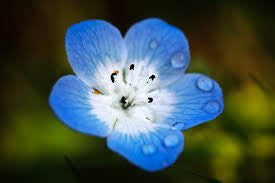 500 Seeds of Baby Blue Eyes (Nemophila Menziesii) Bulk Wildflower Seeds - The Dirty Gardener
