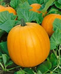 Jack O Lantern Pumpkin Seed 1# From The Dirty Gardener