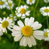 German Chamomile Seed 1 oz. From The Dirty Gardener