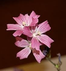 The Dirty Gardener Rose Checker Mallow Seeds