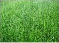 The Dirty Gardener Kenicott Creeping Red Fescue Proprietary Variety, 1 Pound