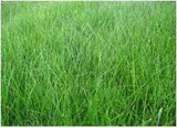1# Kenicott Creeping Red Fescue for Complete Shady Areas. Proprietary Variety - The Dirty Gardener