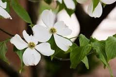 Western Dogwood 50 Seeds (Cornus sericea) from The Dirty Gardener