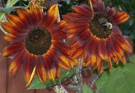 Velvet Queen Sunflowers- Helianthus Annuus #1 Bulk
