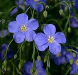 Blue Flax Seed 2 Pounds Bulk Flower Seed