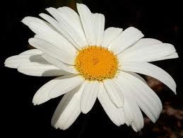 The Dirty Gardener Shasta Daisy Wildflower Seeds