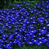 200 Electric Blue & White Half Moon Lobelia Erinus Flower Seeds From The Dirty Gardener - The Dirty Gardener
