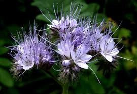 Lacy Phacelia Bulk Wildflower Seed 5# From The Dirty Gardener