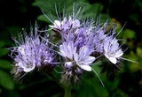 Lacy Phacelia Bulk Wildflower Seed 1# From The Dirty Gardener