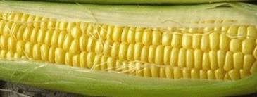 The Dirty Gardener Hybrid Bodacious Sweet Corn, 1 Pound