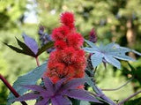 CASTOR BEAN Ricinus Communis Seeds- 25 seeds Natural Mole Repellant From The Dirty Gardener