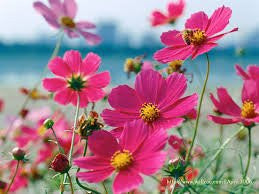 Cosmos Sensation 100 Seeds from The Dirty Gardener