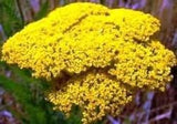 Filipendulina Gold Yarrow Achillea 1000 Seeds From The Dirty Gardener