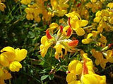 Birdsfoot Trefoil (Lotus corniculatus) 5# From The Dirty Gardener