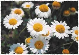Roman Chamomile Seed 1/4 Pound From The Dirty Gardener