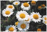 Roman Chamomile Seed 1# Pound From The Dirty Gardener