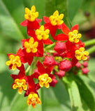 The Dirty Gardener Asclepias Curassavica Bloodflower Tropical Milkweed Flowers, 50 Seeds