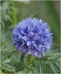 Globe Gilia Seeds- Blue 1/2# Wildflower from The Dirty Gardener