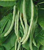 Bean Seeds 1#- 'Romano' Heirloom Vegetable Seeds From The Dirty Gardener