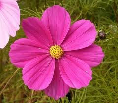 5# Full Pound Cosmos (Cosmos Bipinnatus) Bulk Wildflower Seeds - The Dirty Gardener