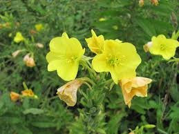 Evening Primrose Flower Seed 1/2# From the Dirty Gardener