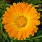 English Marigold Seed- Large Wildflower Seed Packet From The Dirty Gardener