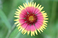 Indian Blanket Wildflower Seeds- 1/8 of a Pound Bulk Gaillardia Pulchella