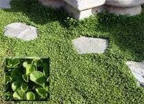 The Dirty Gardener Dichondra Ground Cover Seed