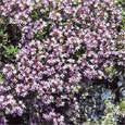 The Dirty Gardener Wild Creeping Thyme Seeds