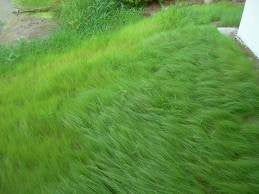 Ermelo Weeping Love Grass- 5# Bulk Pounds