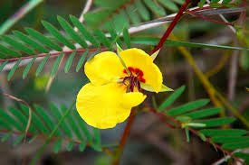 Partridge Pea Seed 1 Pound From The Dirty Gardener