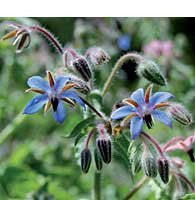 The Dirty Gardener Heirloom Open-Pollinated Borage, 100 Seeds