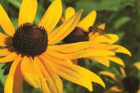 Black-Eyed Susan Flower Seeds Rudbeckia Hirta 500 seeds From The Dirty Gardener