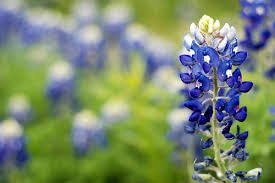 Texas Bluebonnet Flower 500 Seeds From The Dirty Gardener
