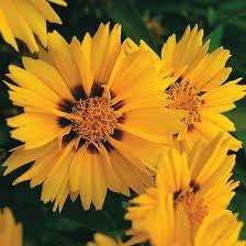 Lance-leaved Coreopsis Flower Seed 2oz From The Dirty Gardener