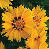 The Dirty Gardener Coreopsis Lanceolata Lance Leaved Flowers