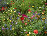 The Dirty Gardener Annual/Perennial Wildflower Seed Mix 1