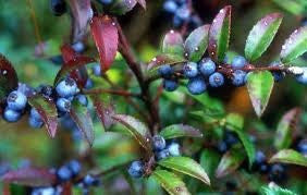 The Dirty Gardener Vaccinium Ovatum Evergreen Huckleberry