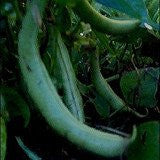Tendergreen Improved Bush Beans 1# Full Pound From The Dirty Gardener